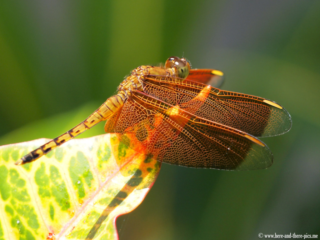 Dragonfly in Indonesia